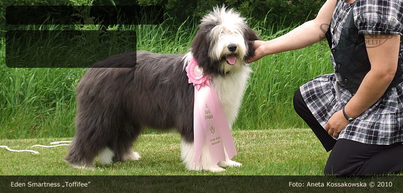 Bearded Collie photo